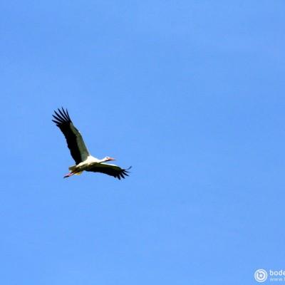 Storch © reinhold@wentsch.com | bodensee.photography