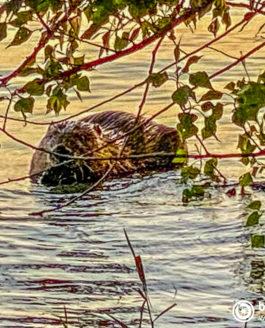 Biber schwimmt im Bodensee
